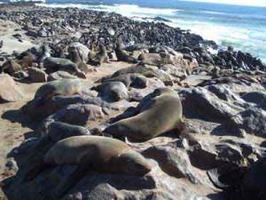 Cape Cross fur seal colony