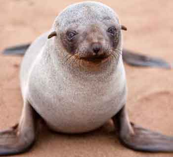 Cape fur seal pup Photo: Getty Images