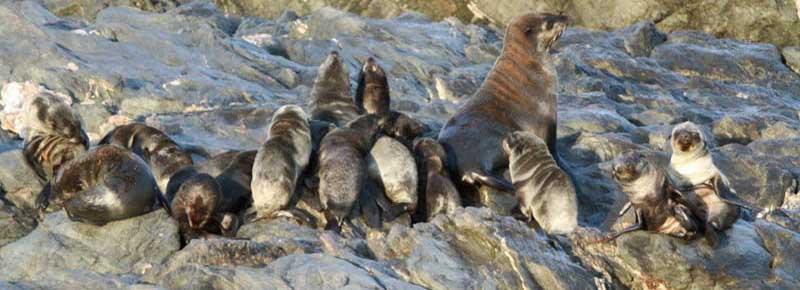 Cape fur seals - Photo: Earthrace Conservation