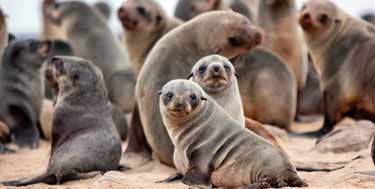 Cape fur seals Photo: Hoberman/Universal Images Group/Getty images