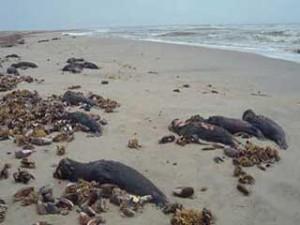 Dead Cape fur seal pups
