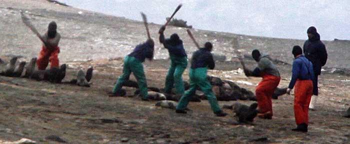 Clubbers killing Cape fur seals