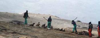 Clubbers killing Cape fur seal pups